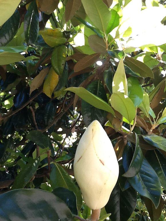 Greeting the Magnolias